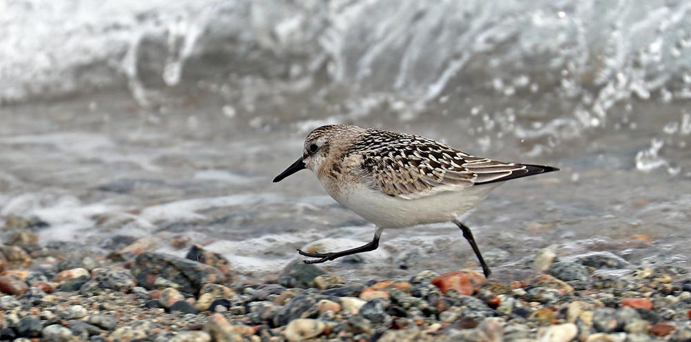 Wader (image by Damon Ramsey)