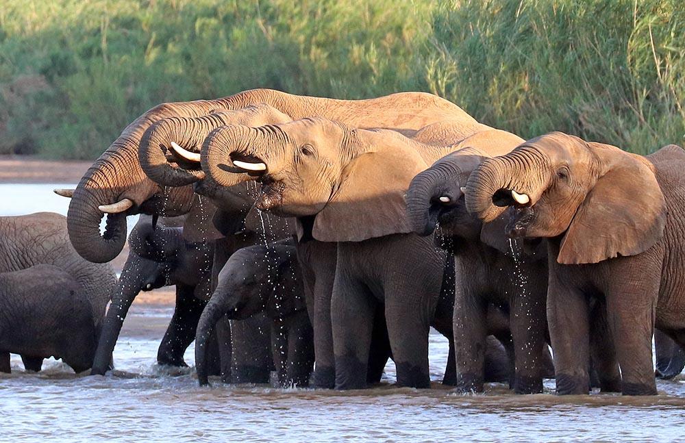Elephants drinking (image by Damon Ramsey)