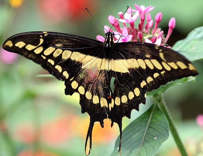 Papilio thoas, King Swallowtail