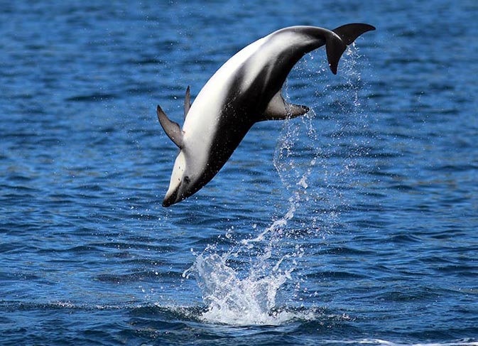 Dusky Dolphin somersaulting, Kaikoura (image by Damon Ramsey)