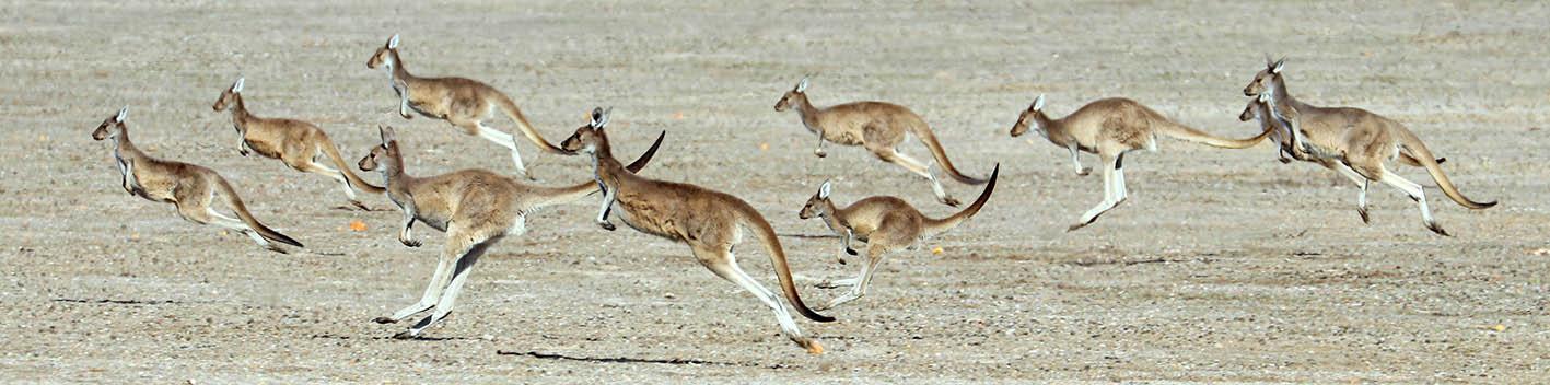 Kangaroos hopping in a mob (image by Damon Ramsey)