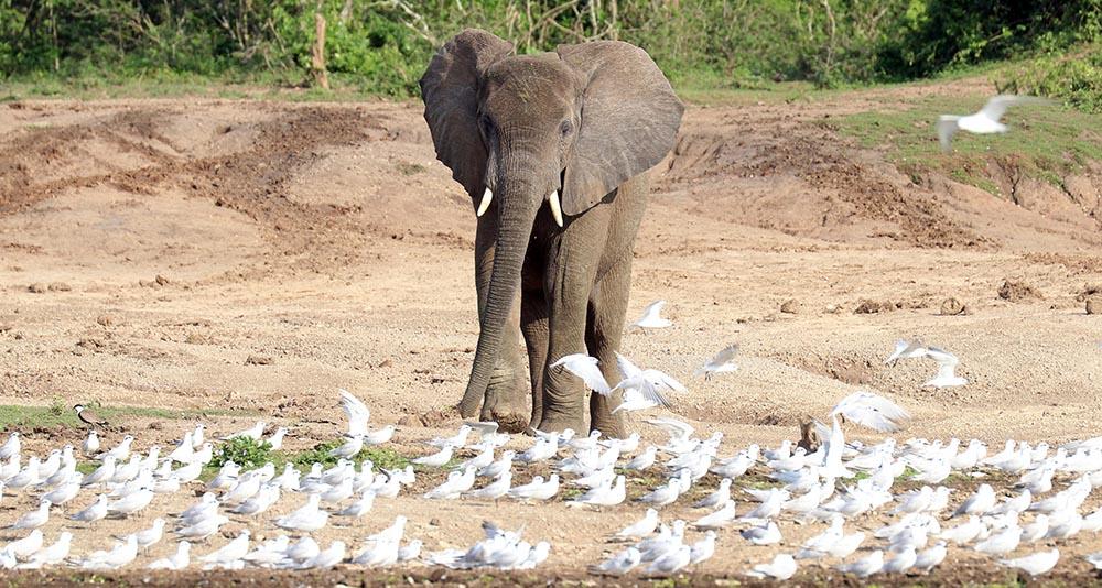 African Elephant (image by Damon Ramsey)