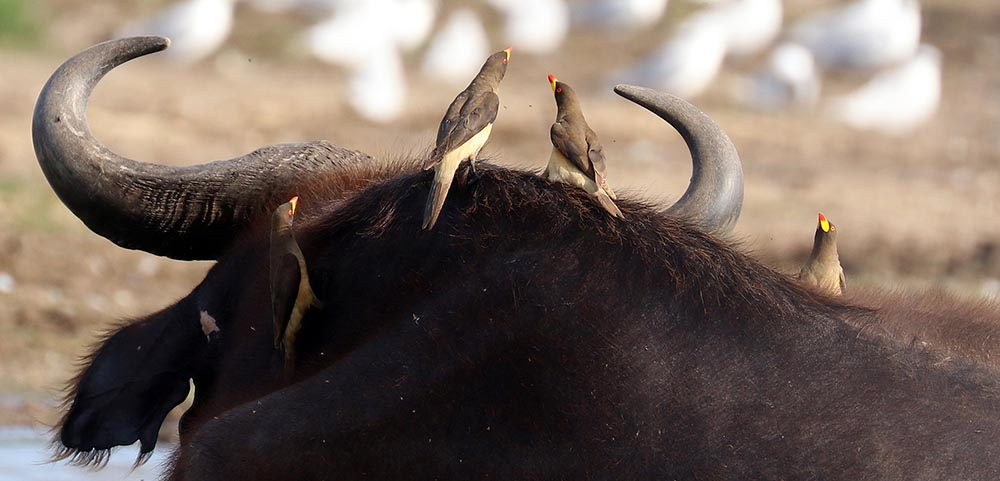 Oxpeckers, (image by Damon Ramsey)