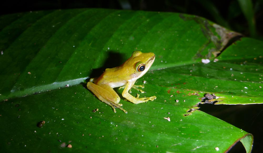 Frog on a leaf (image by Damon Ramsey)