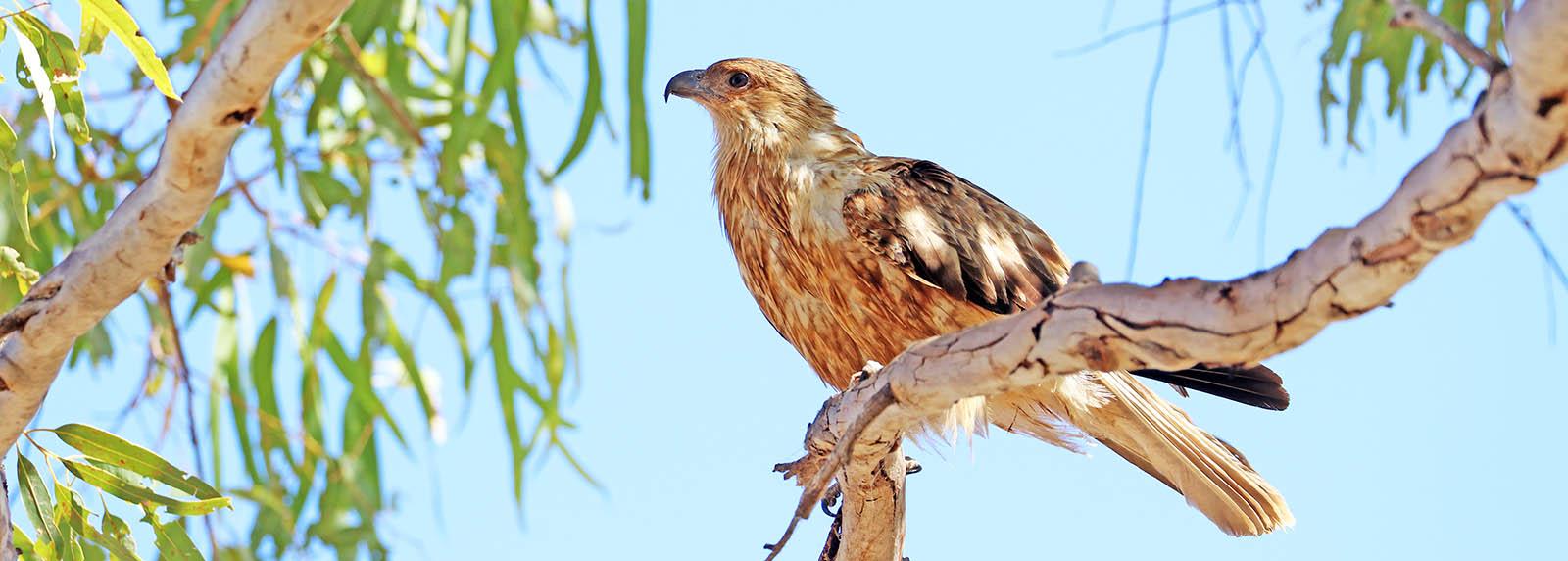 Whistling Kite (image by Damon Ramsey)