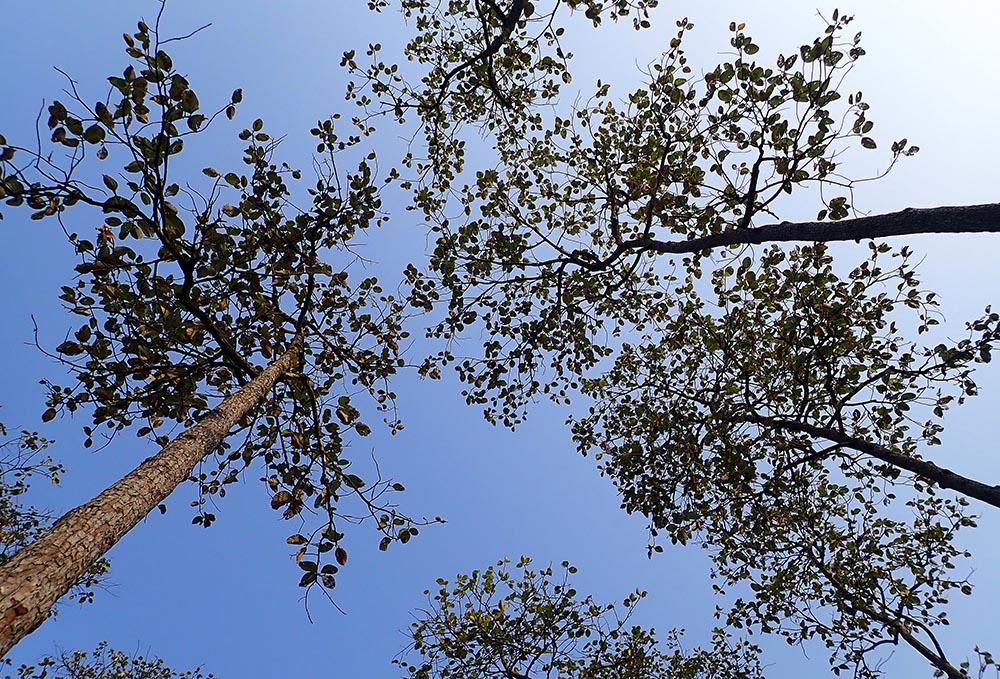 Dipterocarpus canopy (image by Damon Ramsey)