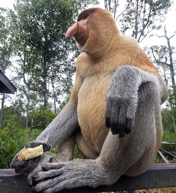 male Proboscis Monkey (image by Damon Ramsey)