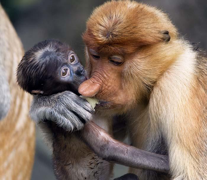mother Proboscis Monkey and baby (image by Damon Ramsey)
