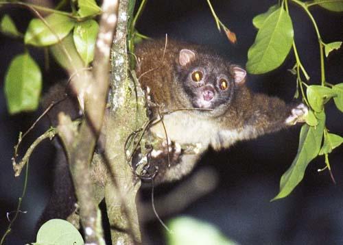 lemuroid possum
