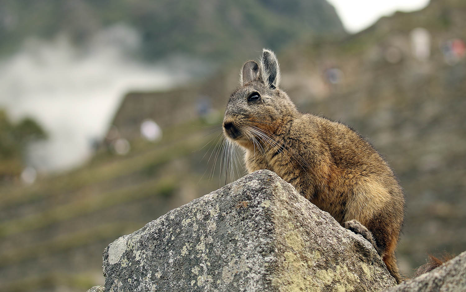 Vizcacha at Machu Picchu ruins (image by Damon Ramsey)