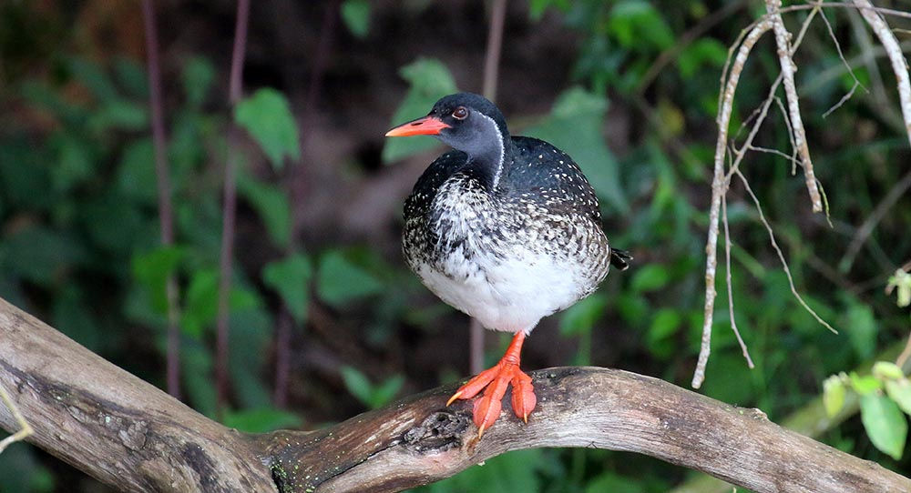 African Finfoot (image by Damon Ramsey)
