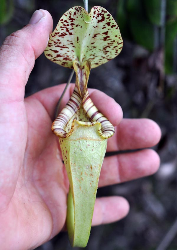Nepenthes Pitcher Plant (image by Damon Ramsey)