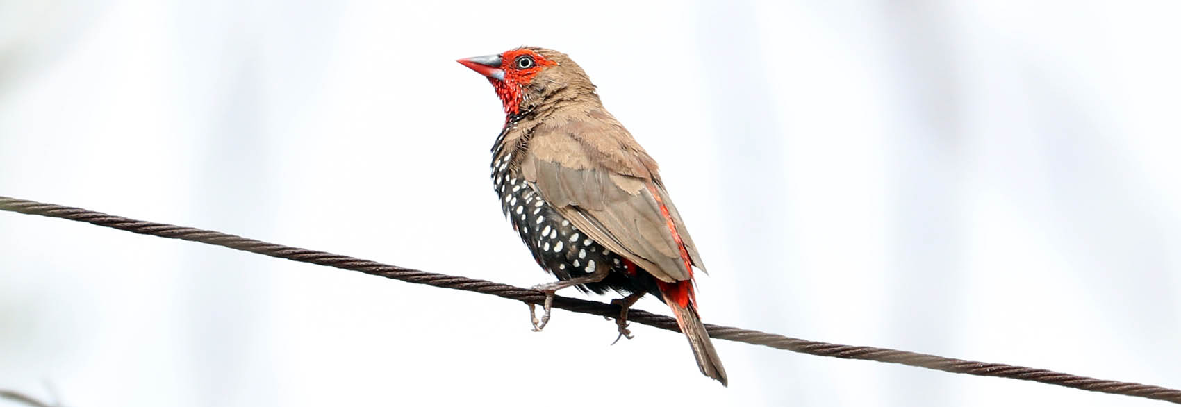 Painted Finch (image by Damon Ramsey)