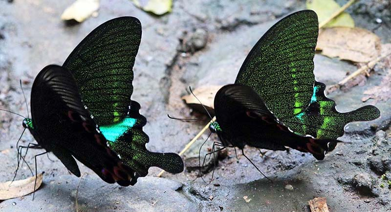 Paris Peacock Butterfly (image by Damon Ramsey)