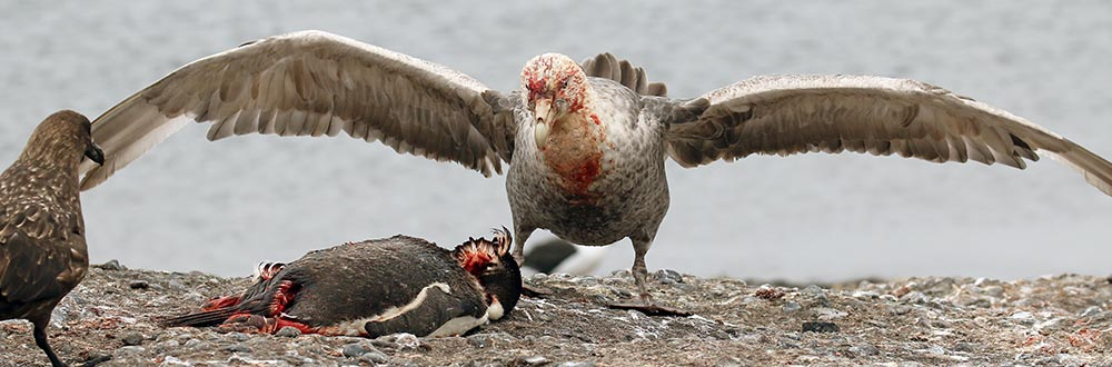 Giant Petrel feeding on a penguin (image by Damon Ramsey)