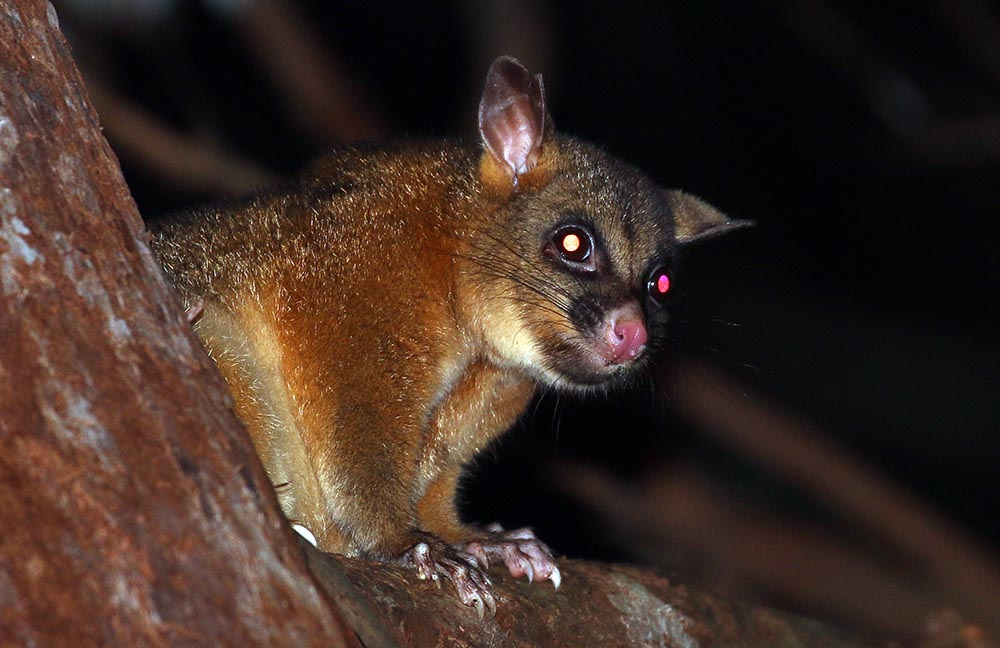 Coppery Brushtail Possum (image by Damon Ramsey)