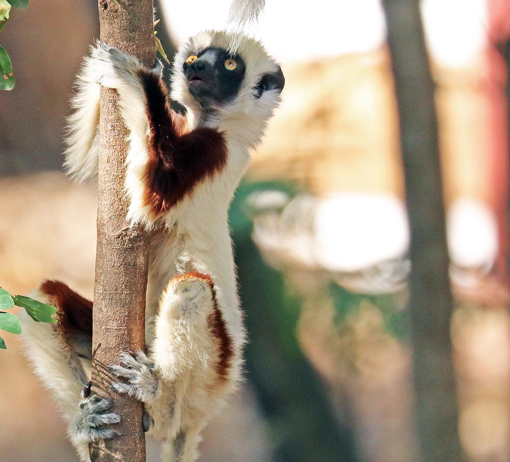 Coquerel's Sifaka (image by Damon Ramsey)