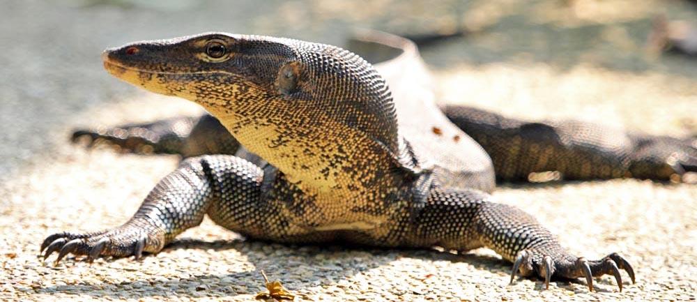 wild monitor lizard, Singapore Zoo (Damon Ramsey, www.ecosystem-guides.com)