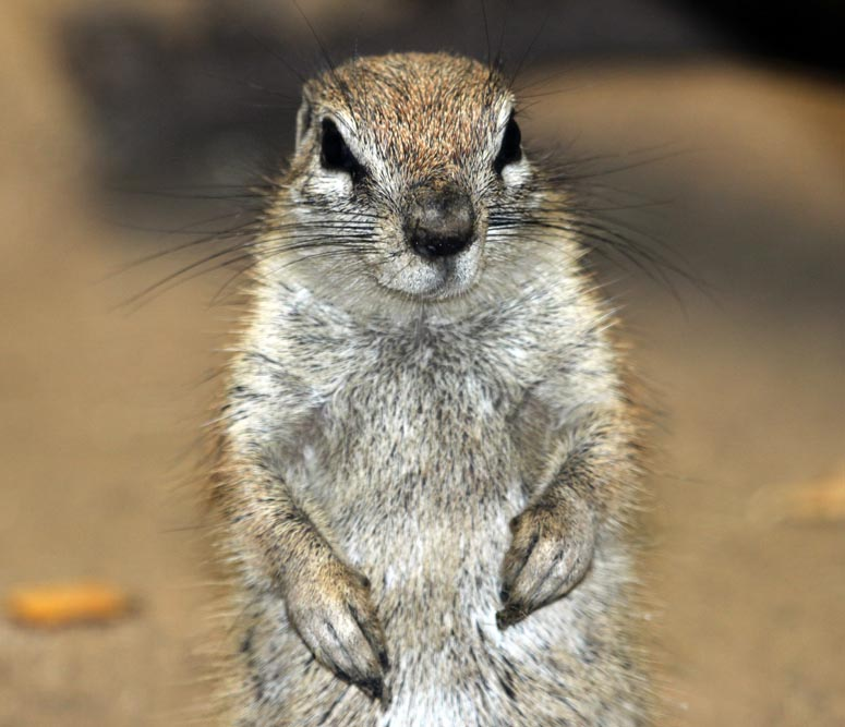 african ground squirrel, Singapore Zoo, (Damon Ramsey, www.ecosystem-guides.com)
