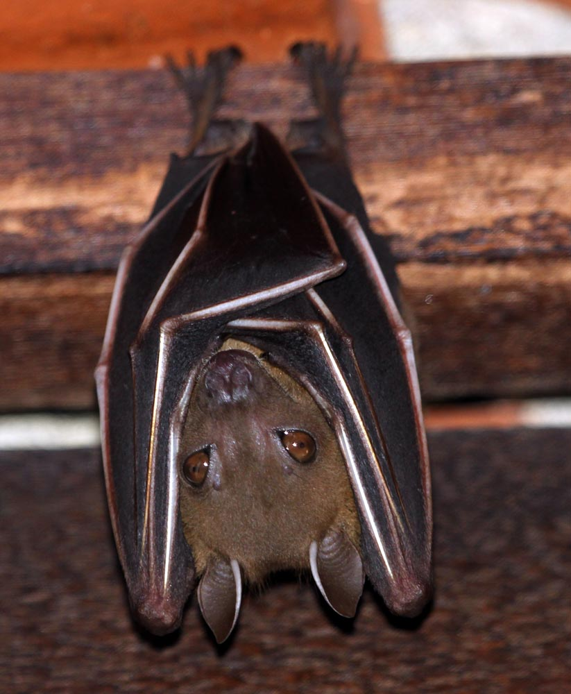 'Lesser Dog-faced Fruit Bat' (image by Damon Ramsey)