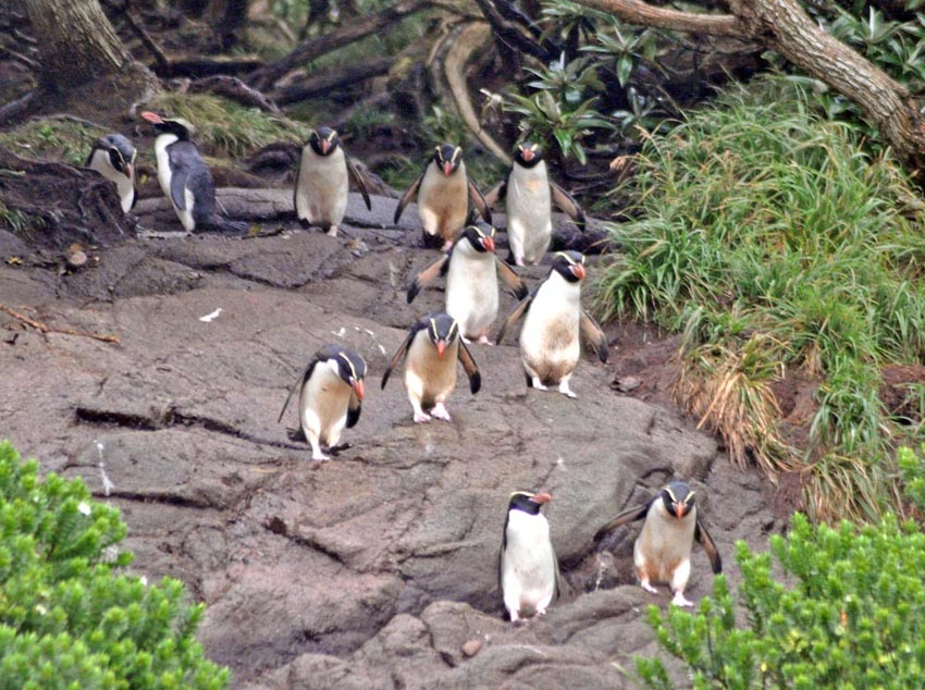 Snares (Crested) Penguin