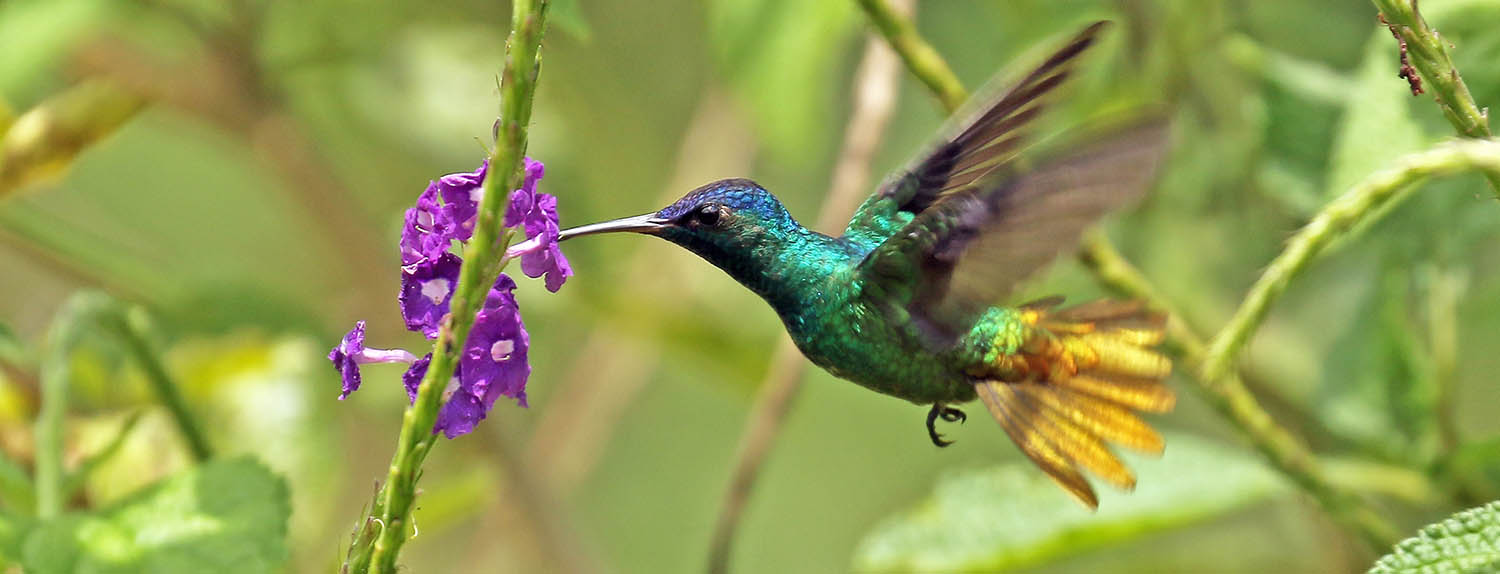 Stachytarpheta and Golden-tailed Hummingbird (image by Damon Ramsey)