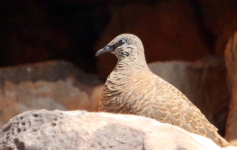 White-quilled Rock Pigeon (image by Damon Ramsey)