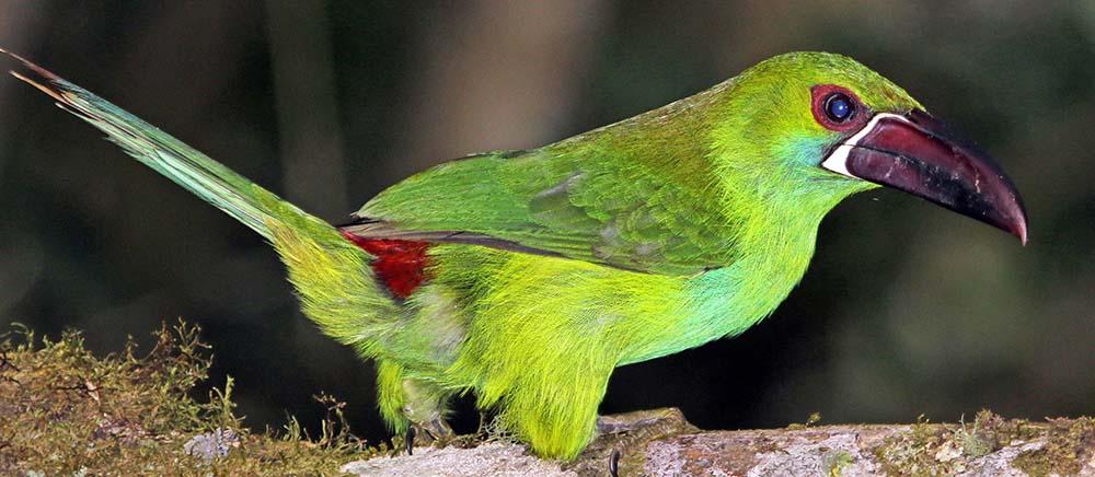 Crimson-rumped Toucanet, Ecuador,image by Damon Ramsey