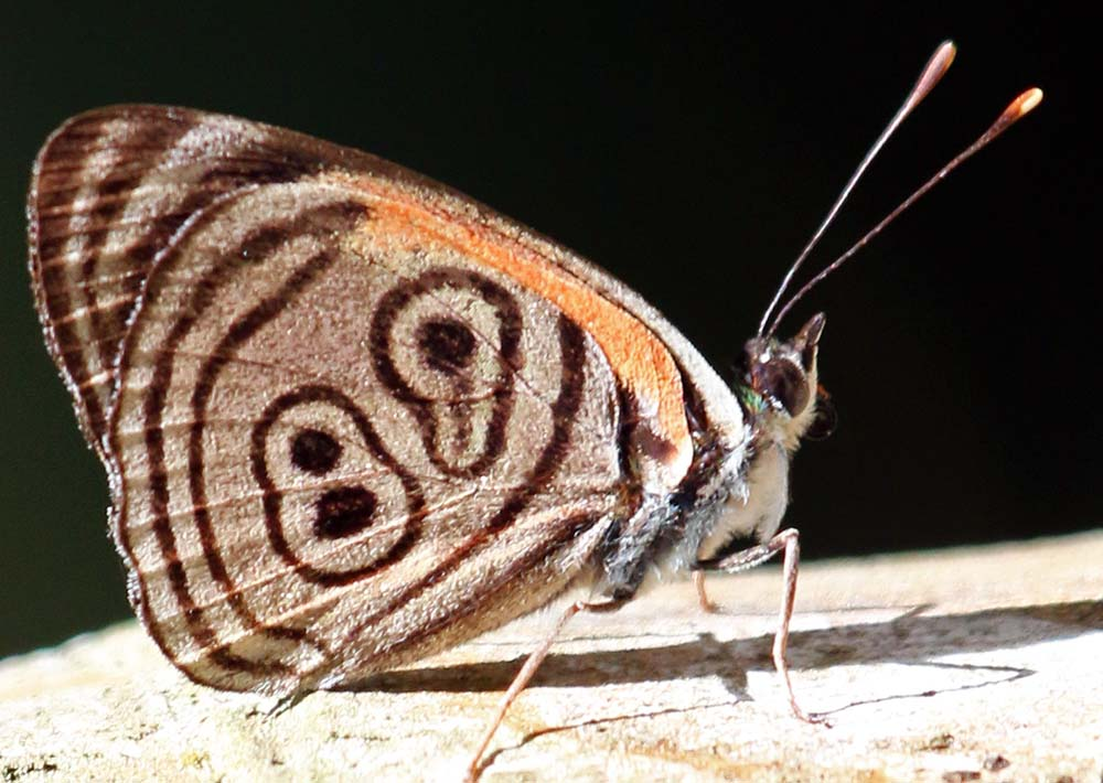 Eighty-eight and Eighty-nine butterfly (image by Damon Ramsey)