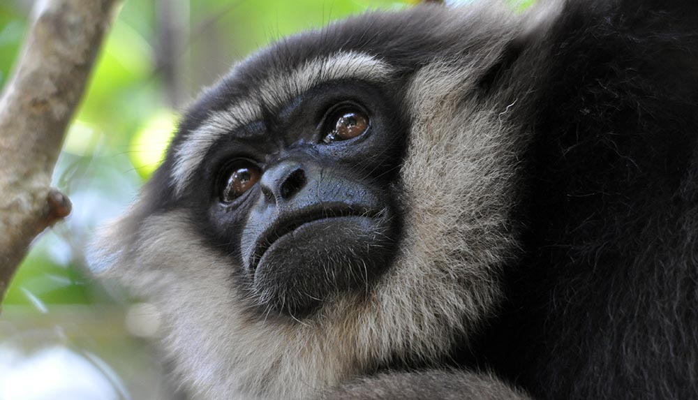 White-bearded Gibbon close up of face, Borneo (image by Damon Ramsey)