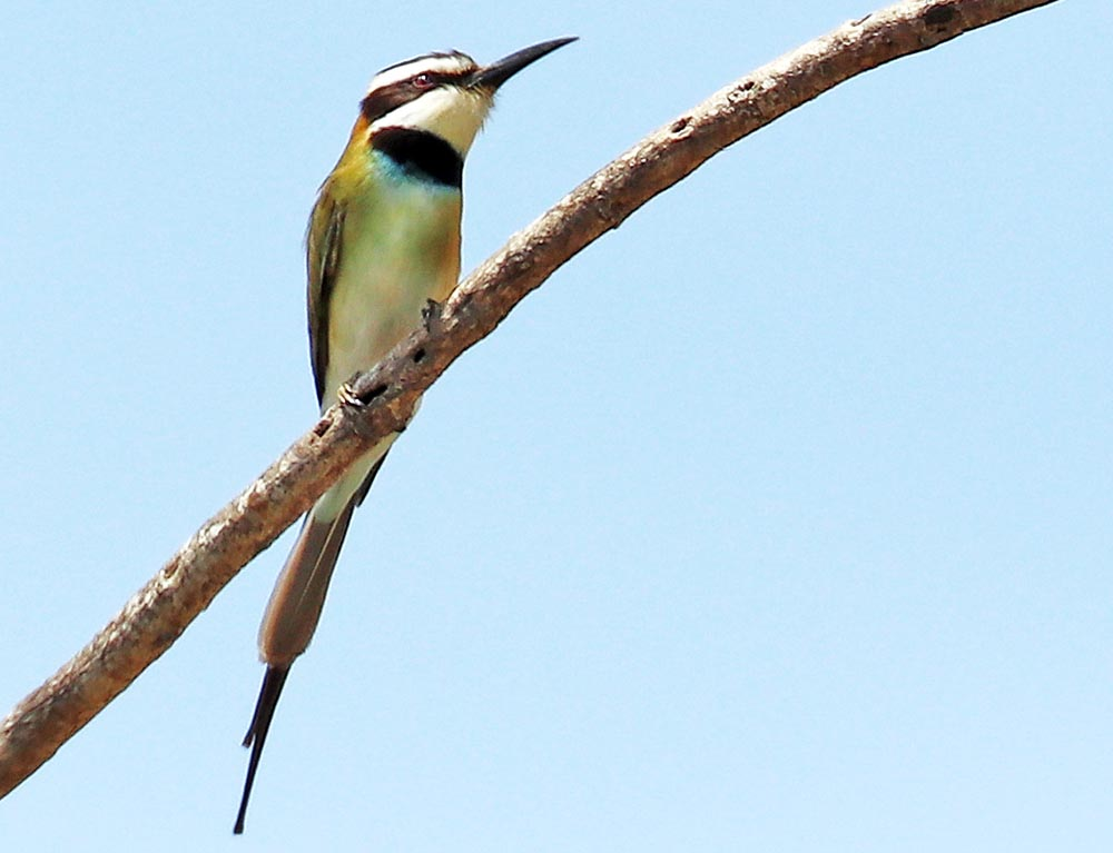 'White-throated Bee-eater' (image by Damon Ramsey)