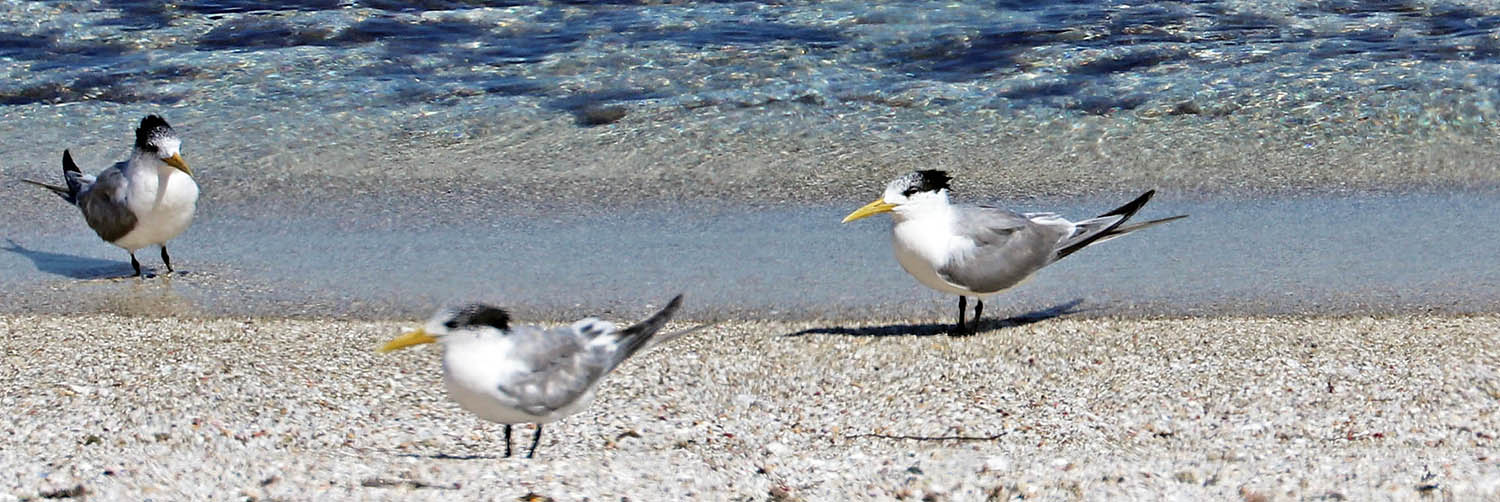 Greater Crested Tern (image by Damon Ramsey)