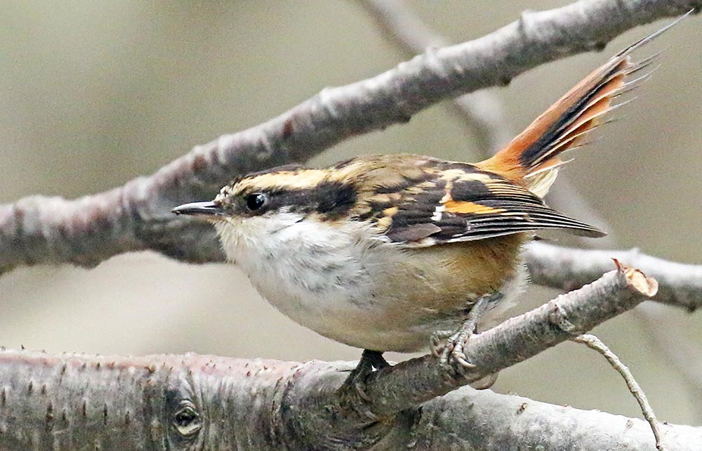Thorn-tailed Rayadito, (image by Damon Ramsey)
