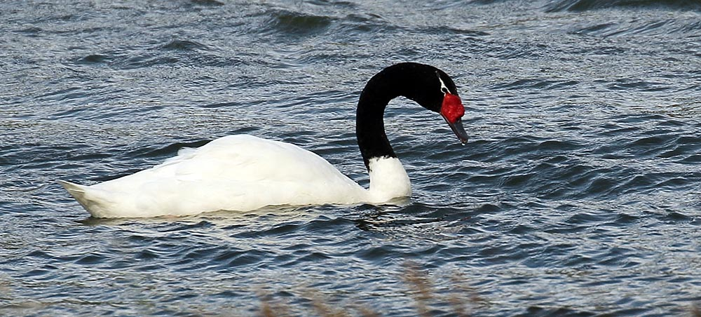 Black-necked Swan (image by Damon Ramsey)
