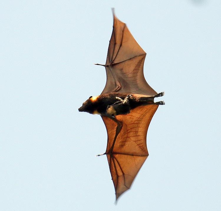 Insular Flying Fox (image by Damon Ramsey)