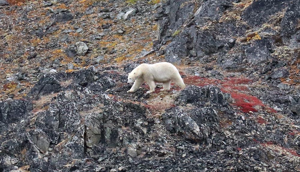 Polar Bear (image by Damon Ramsey)