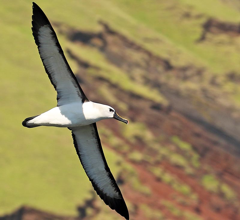 Atlantic Yellow-nosed Albatross, (image by Damon Ramsey)