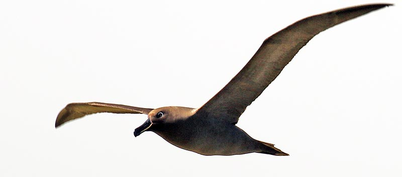 Sooty Albatross (image by Damon Ramsey)