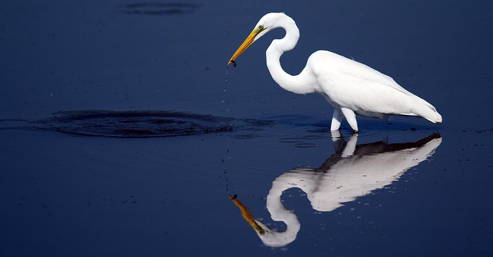 Great Egret feeding (image by Damon Ramsey)