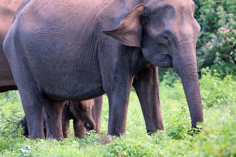 Indian Elephant (image by Damon Ramsey)