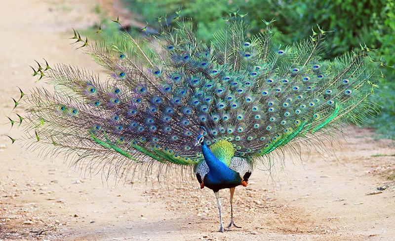 Male peacock in display (image by Damon Ramsey)