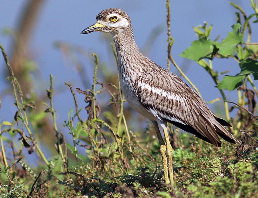 Indian Thick-knee (image by Damon Ramsey)