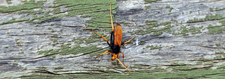 Cryptocheilus spp., 'Spider Wasp'.