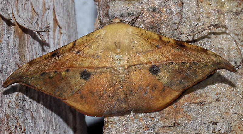 Dead-leaf Moth (image by Damon Ramsey)