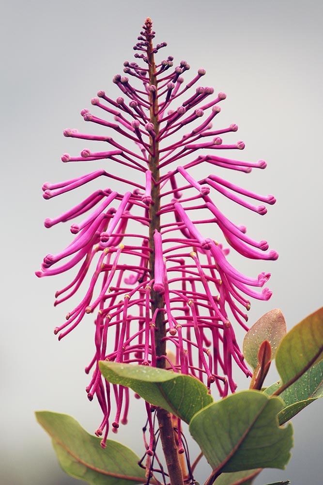 Oreocallis grandiflora (image by Damon Ramsey)