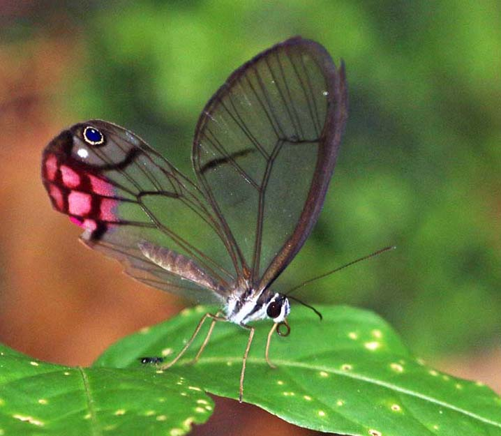 Blushing Phantom butterfly, (image by Damon Ramsey)