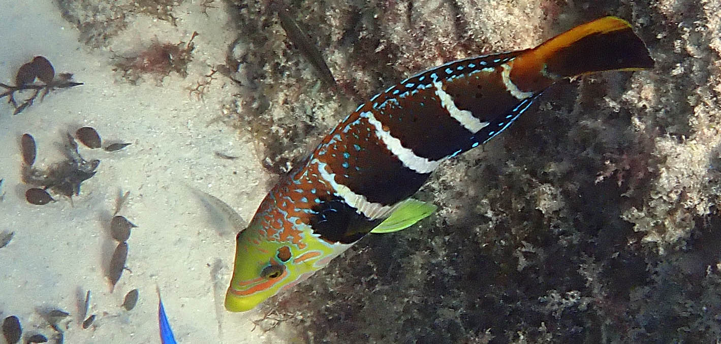 Thick-lipped Wrasse (image by Damon Ramsey)