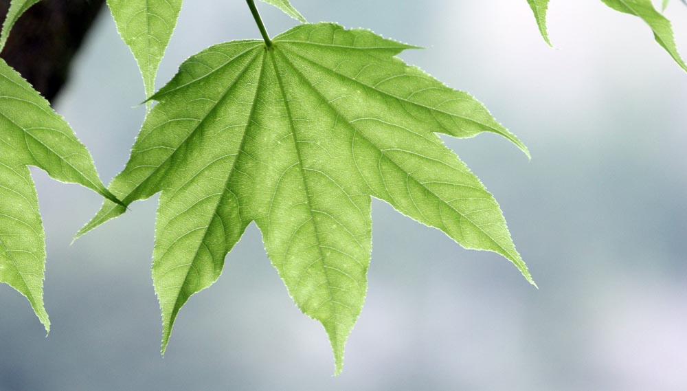 Leaf, Yakushima Island, (image by Damon Ramsey, www.ecosystem-guides.com)