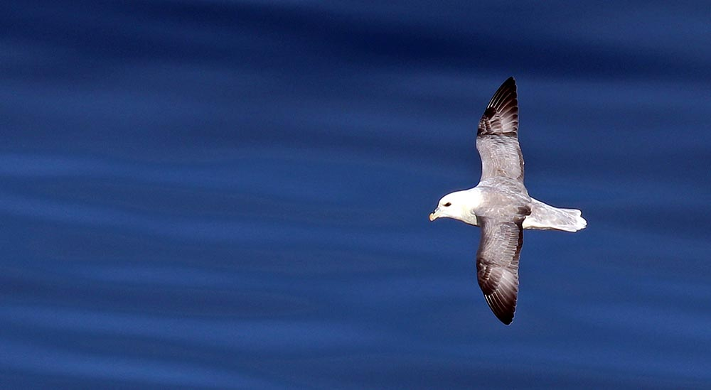Northern Fulmar (image by Damon Ramsey)