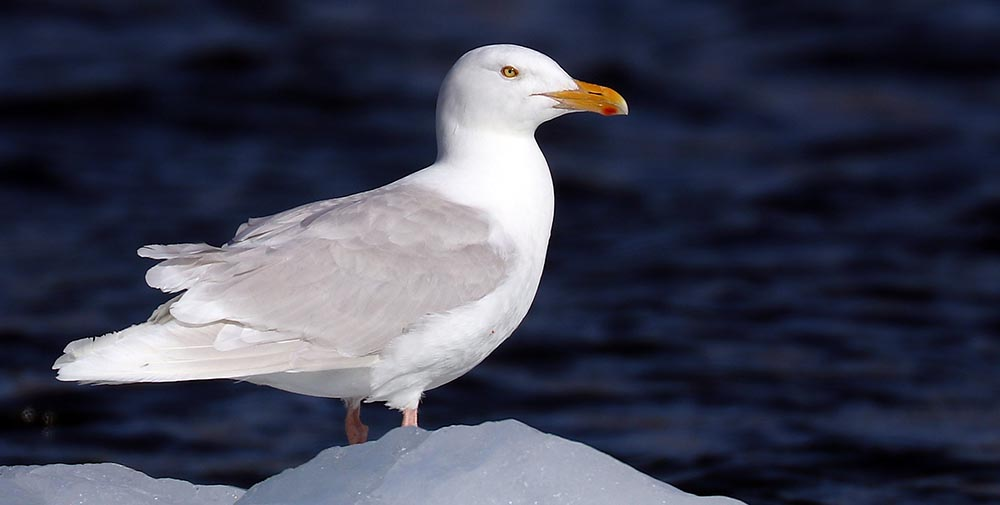 Arctic Gull (image by Damon Ramsey)